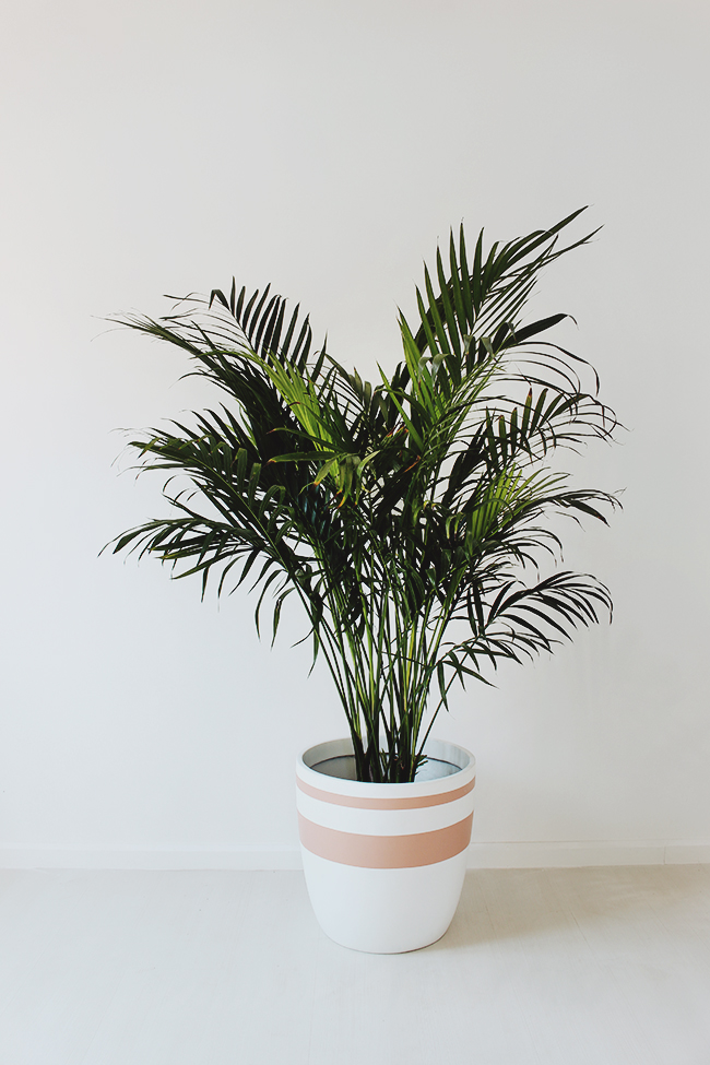 cat-palm